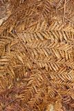 Упаденные сухие fronds папоротника дерева Стоковое Изображение