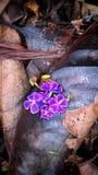 Упаденные цветки сапфира поливают Duranta Стоковые Изображения RF