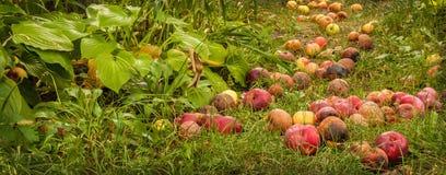 Упаденные яблоки в саде в осени стоковое изображение rf