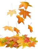упаденный изолированный клен листьев Стоковое Фото
