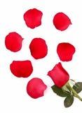 упаденный изолированный красный цвет лепестков поднял Стоковые Фото