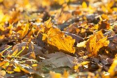 упаденный клен листьев стоковые фотографии rf