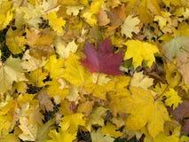 упаденный клен листьев Стоковые Изображения RF