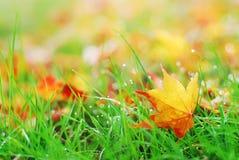 упаденный клен листьев стоковое изображение