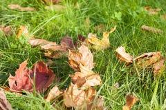 упаденный клен листьев стоковое фото rf