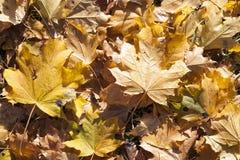 упаденный клен листьев стоковые изображения
