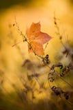 упаденный клен листьев стоковая фотография rf