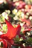 упаденный красный цвет листьев Стоковые Фото