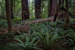 Упаденный ствол дерева в лесе Стоковые Изображения