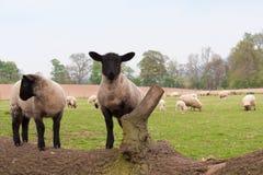 упаденный srping поскаканный овечками к валу Стоковые Фото