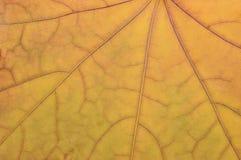 Упаденная горизонтальная золотой желтой предпосылки конспекта гербария grunge падения осени картины текстуры кленового листа винт Стоковое Изображение RF