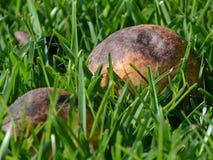 Упаденная груша Стоковые Фото