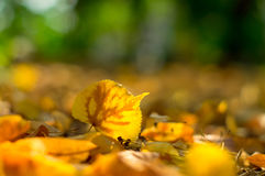 Упаденная желтым цветом липа лист на том основании Стоковые Изображения RF