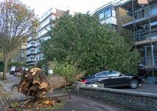 Упаденное дерево вяза стоковые фотографии rf