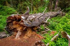 Упаденное дерево в олимпийском национальном парке Стоковые Изображения RF