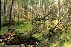 Упаденное дерево Стоковая Фотография