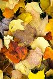 Упаденное листьями падение росы изменения сезона осени природы зимы земное Стоковые Фото