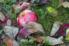 Упаденное красное яблоко на зеленой траве и сухом leav Стоковые Фотографии RF
