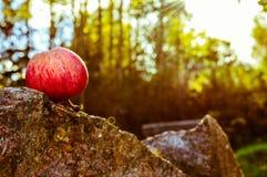 Упаденное Яблоко Стоковое Фото