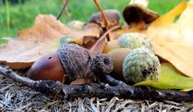 Упаденные вниз красочные жолуди Стоковые Фото