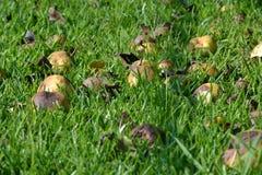 Упаденные груши Стоковая Фотография