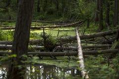 Упаденные деревья в болоте леса Стоковые Фотографии RF