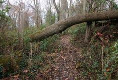 Упаденные деревья в лесе Стоковое фото RF