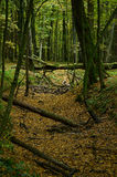 Упаденные деревья в промоине в лесе осени стоковые фото