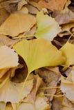 Упаденные желтые листья гинкго осени Стоковые Изображения