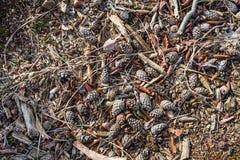 Упаденные листья, жолуди и конусы сосны на поле леса fr стоковые изображения