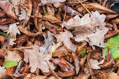 Упаденные листья каштана, клена, дуба, акации Брайн, красный цвет, апельсин и gren предпосылка листьев осени Стоковое Изображение
