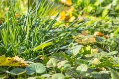 Упаденные листья осени на траве в солнечном утре освещают Стоковое Изображение RF