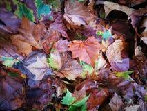 Упаденные лист дерева Феникса лежа на влажной земле Стоковое Изображение RF