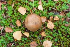 Упаденные лист на коже крышки ` s гриба леса в траве Стоковое Фото