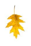 Упаденные лист осени дуба на белизне Стоковое Фото
