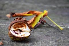 Упаденные marron и marronleaf Стоковая Фотография