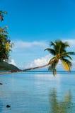 Упаденный висеть кокосовой пальмы горизонтальный над Стоковые Фото