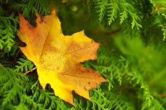 Упаденный кленовый лист на ветвях туи Стоковое Фото