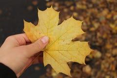 Упаденный кленовый лист Стоковое Изображение