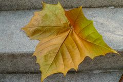 Упаденный кленовый лист Стоковые Фото
