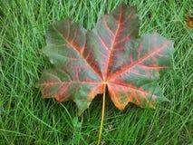 Упаденный кленовый лист Стоковое Изображение RF