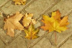 упаденный клен листьев Стоковое Изображение RF