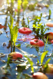 Упаденный от яблок дерева в воде с листьями осени  Стоковое Фото