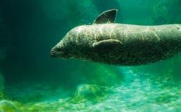 Уплотнение гавани - vitulina настоящего тюленя стоковые изображения