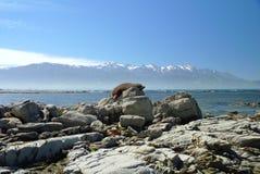 Уплотнение греется на солнце перед Тихим океаном Kaikoura, южный остров, Новая Зеландия стоковые фото
