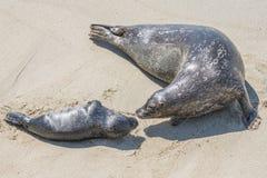 Уплотнение матери и щенка на пляже стоковая фотография
