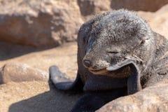 Уплотнение младенца коричневое в кресте накидки, Намибии Стоковая Фотография RF