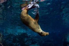 Уплотнение морсого льва подводное пока ныряя galapagos Стоковые Изображения