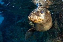 Уплотнение морсого льва подводное пока ныряя galapagos Стоковое фото RF
