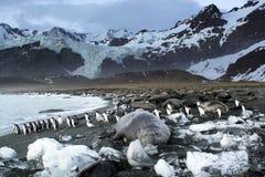 уплотнение пингвинов gentoo слона Стоковое Изображение
